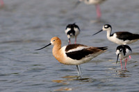 Avocets, Oystercatchers, Phalaropes & Stilts