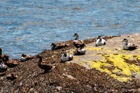 Eiders, Scoters & Sea Ducks