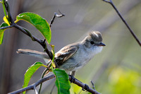 Flycatchers, Mockingbirds & Thrashers